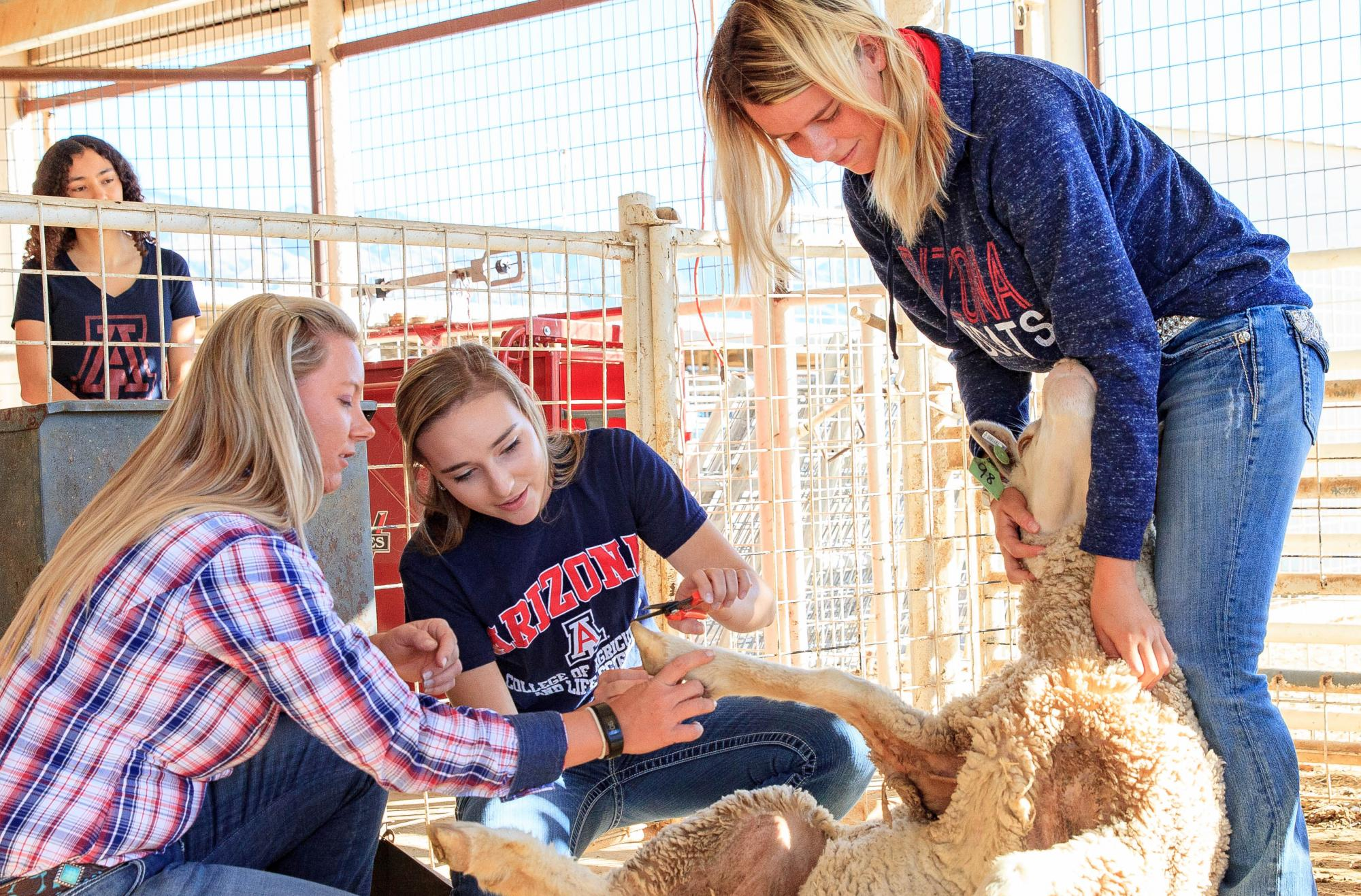 Students trimming hooves of sheep