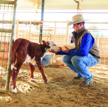 student bottle feeding calf